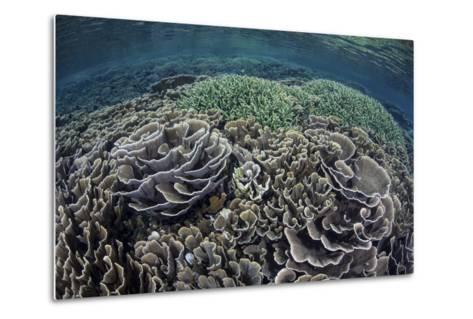 Foliose Corals Grow in Komodo National Park, Indonesia-Stocktrek Images-Metal Print