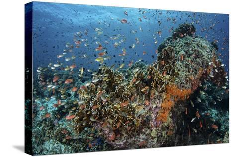 Colorful Anthias Swim Above Corals in Komodo National Park, Indonesia-Stocktrek Images-Stretched Canvas Print