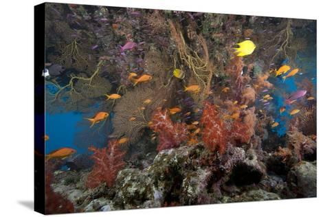 Schooling Scalefin Anthias Fish and Soft Corals of Beqa Lagoon, Fiji-Stocktrek Images-Stretched Canvas Print