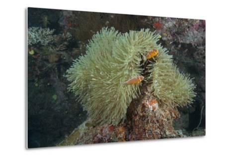 Pink Anenomefish on its Host Anenome, Fiji-Stocktrek Images-Metal Print