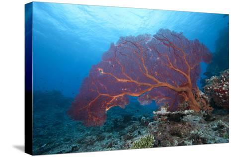 A Large Gorgonian Sea Fan on a Fijian Reef-Stocktrek Images-Stretched Canvas Print