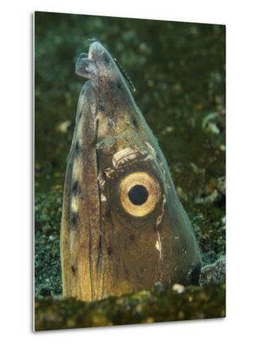 Close-Up of a Blacksaddle Snake Eel Head, Lembeh Strait, Indonesia-Stocktrek Images-Metal Print