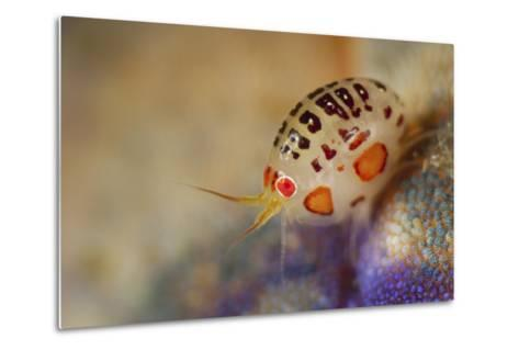 Close-Up View of a Ladybug Amphipod, Cyproidea Species-Stocktrek Images-Metal Print