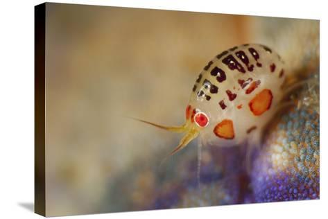 Close-Up View of a Ladybug Amphipod, Cyproidea Species-Stocktrek Images-Stretched Canvas Print