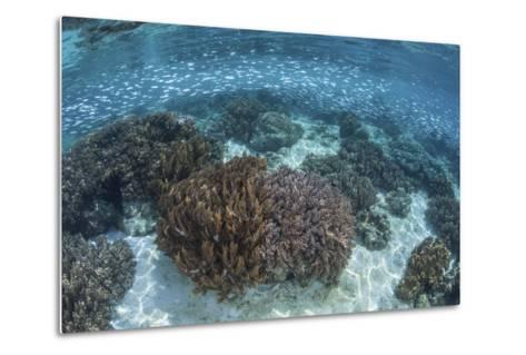 A School of Silversides Swim Above a Shallow Reef in Raja Ampat-Stocktrek Images-Metal Print