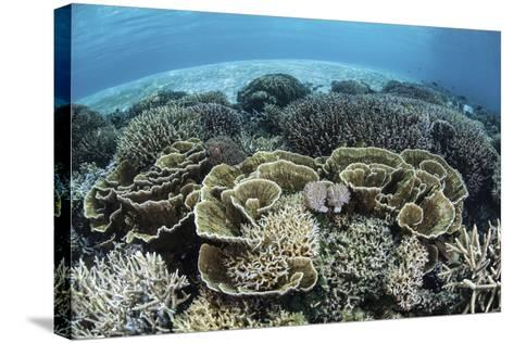 Delicate Reef-Building Corals in Alor, Indonesia-Stocktrek Images-Stretched Canvas Print