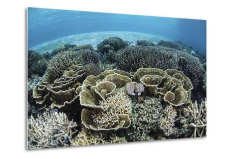 Delicate Reef-Building Corals in Alor, Indonesia-Stocktrek Images-Metal Print