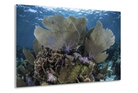 Gorgonians Grow in Shallow Water Off Turneffe Atoll in Belize-Stocktrek Images-Metal Print
