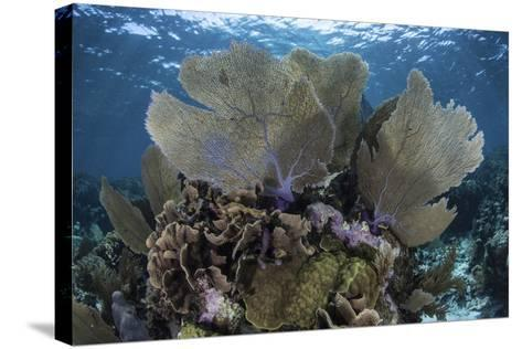 Gorgonians Grow in Shallow Water Off Turneffe Atoll in Belize-Stocktrek Images-Stretched Canvas Print