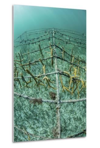 Fast-Growing Corals Being Grown in the Caribbean Sea-Stocktrek Images-Metal Print