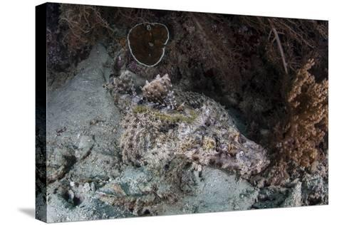 A Crocodilefish Lies on a Reef in Indonesia-Stocktrek Images-Stretched Canvas Print