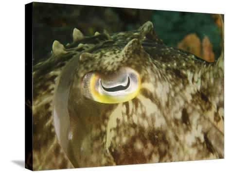 Close-Up of a Cuttlefish Eye, Manado, Indonesia-Stocktrek Images-Stretched Canvas Print