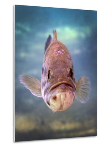 A Largemouth Bass Faces Off with the Underwater Photographer-Stocktrek Images-Metal Print