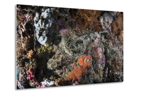 A Large Crocodilefish Lies on a Colorful Reef-Stocktrek Images-Metal Print