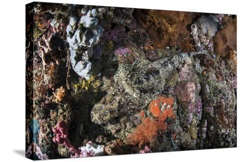 A Large Crocodilefish Lies on a Colorful Reef-Stocktrek Images-Stretched Canvas Print