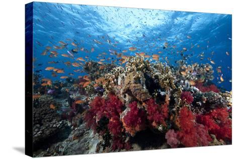 Schooling Anthias Fish and Healthy Corals of Beqa Lagoon, Fiji-Stocktrek Images-Stretched Canvas Print