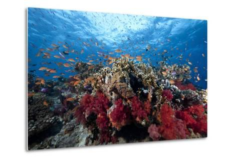 Schooling Anthias Fish and Healthy Corals of Beqa Lagoon, Fiji-Stocktrek Images-Metal Print