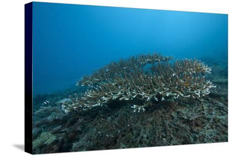 Stony Corals in Beqa Lagoon, Fiji-Stocktrek Images-Stretched Canvas Print