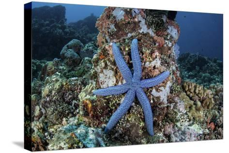 An Unusual Sea Star Clings to a Diverse Reef Near the Island of Bangka-Stocktrek Images-Stretched Canvas Print