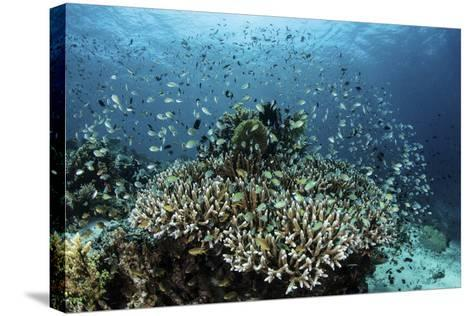 Damselfish Swim Above Corals in Komodo National Park, Indonesia-Stocktrek Images-Stretched Canvas Print