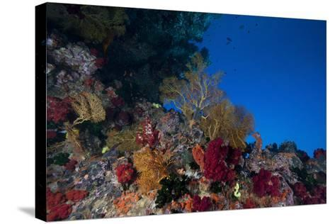 Soft Corals and Gorgonian Sea Fans Adorn a Reef in Fiji-Stocktrek Images-Stretched Canvas Print