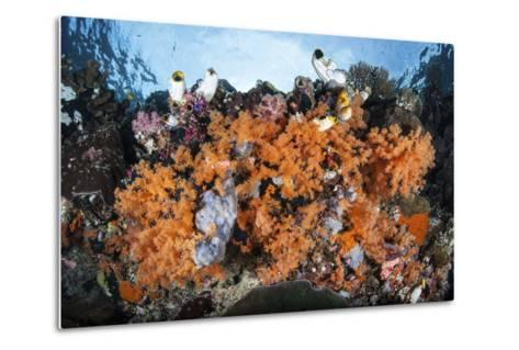 Colorful Soft Corals Grow on a Reef Dropoff in Raja Ampat-Stocktrek Images-Metal Print