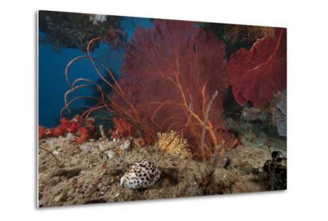 A Large Red Gorgonian Sea Fan and Tiger Cowrie in Waters Off Fiji-Stocktrek Images-Metal Print