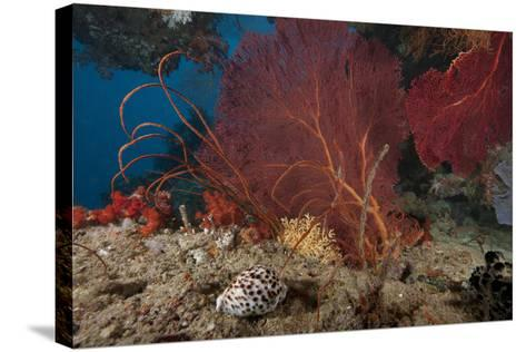 A Large Red Gorgonian Sea Fan and Tiger Cowrie in Waters Off Fiji-Stocktrek Images-Stretched Canvas Print