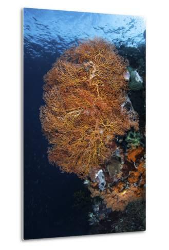 A Colorful Gorgonian Grows on a Reef Dropoff in Raja Ampat-Stocktrek Images-Metal Print
