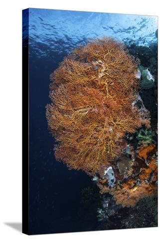 A Colorful Gorgonian Grows on a Reef Dropoff in Raja Ampat-Stocktrek Images-Stretched Canvas Print