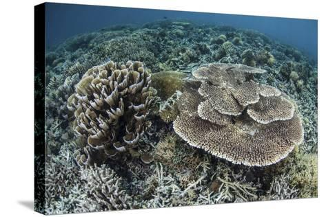 Delicate Corals Grow Near the Island of Flores in Indonesia-Stocktrek Images-Stretched Canvas Print
