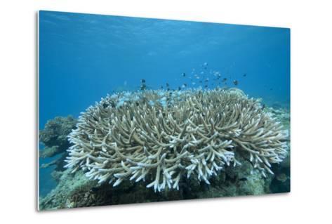 Stony Corals in Beqa Lagoon, Fiji-Stocktrek Images-Metal Print