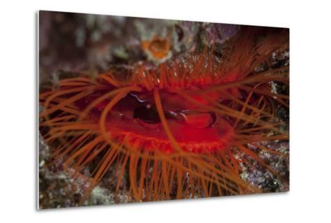 A Disco Clam on a Reef Near the Island of Sulawesi, Indonesia-Stocktrek Images-Metal Print
