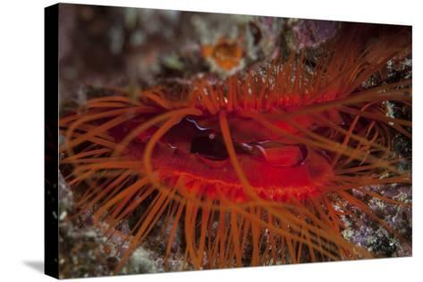 A Disco Clam on a Reef Near the Island of Sulawesi, Indonesia-Stocktrek Images-Stretched Canvas Print