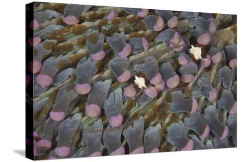 A Pair of Mushroom Coral Shrimp on Pink Mushroom Coral-Stocktrek Images-Stretched Canvas Print