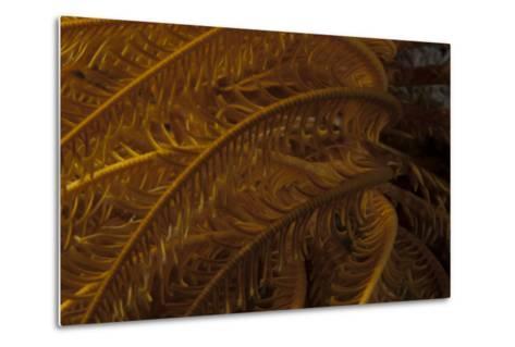 Close-Up Image of a Yellow Crinoid on a Fijian Reef-Stocktrek Images-Metal Print