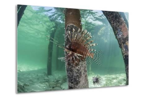 A Lionfish Swims Beneath a Pier Off the Coast of Belize-Stocktrek Images-Metal Print