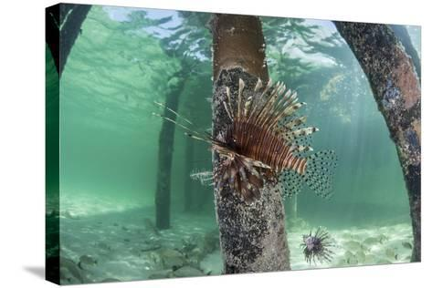 A Lionfish Swims Beneath a Pier Off the Coast of Belize-Stocktrek Images-Stretched Canvas Print