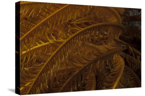 Close-Up Image of a Yellow Crinoid on a Fijian Reef-Stocktrek Images-Stretched Canvas Print