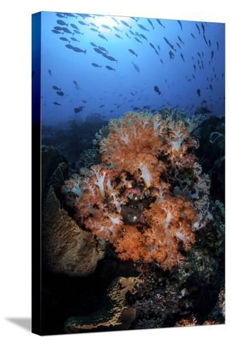 Beautiful Orange Soft Corals on a Current-Swept Reef in Indonesia-Stocktrek Images-Stretched Canvas Print