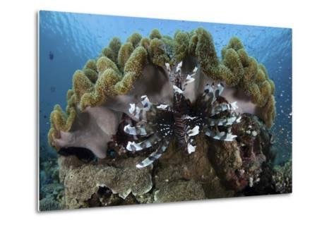 A Lionfish Swims on a Reef in Komodo National Park, Indonesia-Stocktrek Images-Metal Print