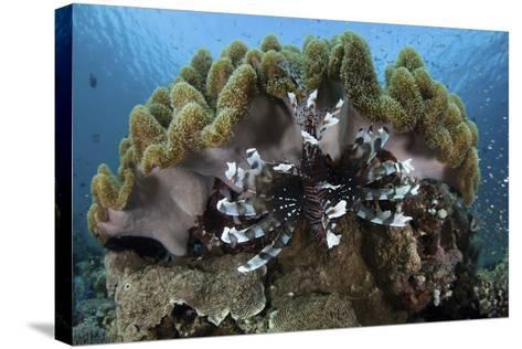 A Lionfish Swims on a Reef in Komodo National Park, Indonesia-Stocktrek Images-Stretched Canvas Print