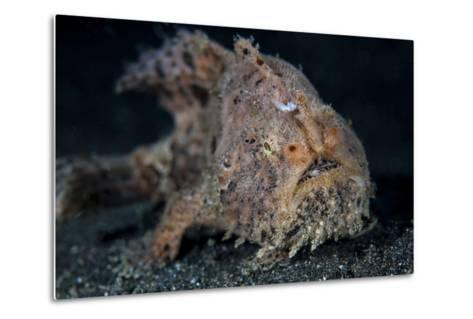 A Hairy Frogfish in Lembeh Strait, Indonesia-Stocktrek Images-Metal Print