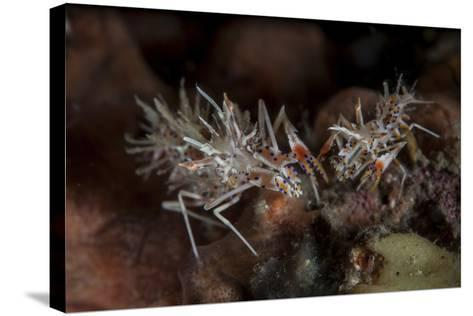 A Pair of Spiny Tiger Shrimp Crawl on the Seafloor-Stocktrek Images-Stretched Canvas Print