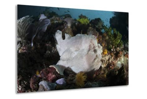 A Giant Frogfish Blends into its Reef Surroundings in Indonesia-Stocktrek Images-Metal Print