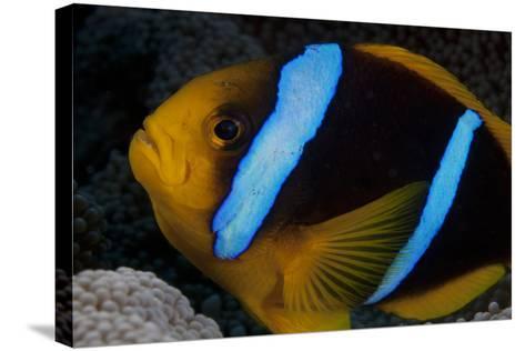 Orange-Fin Anenomefish in its Host Anenome, Fiji-Stocktrek Images-Stretched Canvas Print