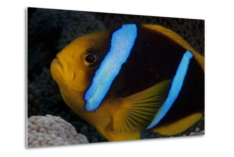 Orange-Fin Anenomefish in its Host Anenome, Fiji-Stocktrek Images-Metal Print