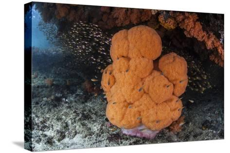A Soft Coral Colony Grows in a Current-Swept Channel of Raja Ampat, Indonesia-Stocktrek Images-Stretched Canvas Print