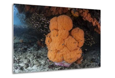 A Soft Coral Colony Grows in a Current-Swept Channel of Raja Ampat, Indonesia-Stocktrek Images-Metal Print