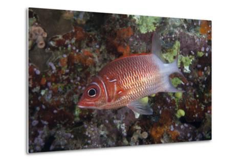 Tailspot Squirrelfish Swimming in Fiji-Stocktrek Images-Metal Print